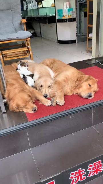 很多人留言说店里这么多狗,害怕没有人敢进,这么听话的狗子,为什么要怕呢?😊❤️#宠物 🐶🐱